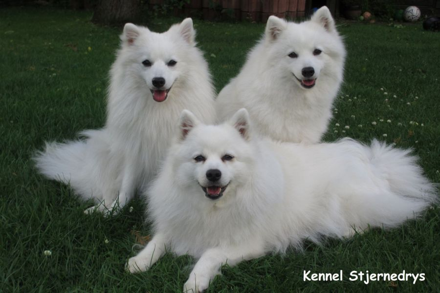 hvid hund med lang pels